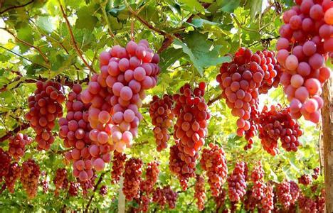无籽葡萄致不育 为啥这么多人信?